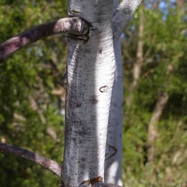 Silver Princess Eucalyptus caesia Trunk And Branches. by Rita Blom