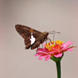 Silver-Spotted Skipper on Zinnia by Marilyn DeBlock