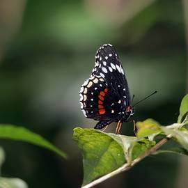 Simple Checkerspot Butterfly Panama by Marlin and Laura Hum