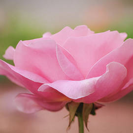 Simply Rose by Terry Davis