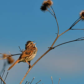 Sing the song sparrow by Asbed Iskedjian