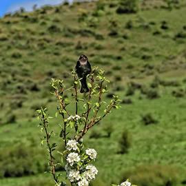 Singing Blackbird by Robert Bales