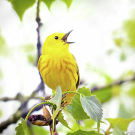 Singing Yellow Walbler by Judi Dressler
