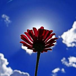 Single Red Flower And Blue Sky by Dritan Zaimi