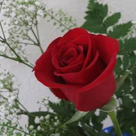 Single Red Rose by Paul - Phyllis Stuart