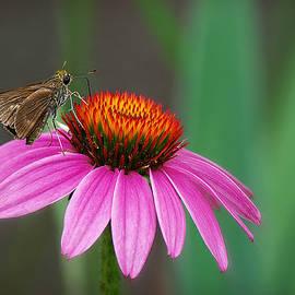 Skipper Butterfly on Echinacea  by Marilyn DeBlock