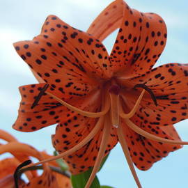 Sky Full of Tiger Lily