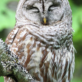 Sleeping Owl - Vertical by Peggy Collins