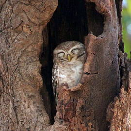 Sleeping Spotted Owl by Laurel Talabere