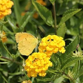 Sleepy Orange Butterfly on Yellow Lantana by Sheila Brown