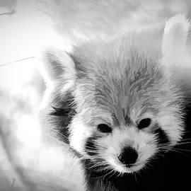 Sleepy Red Panda Black And White by Mo Barton