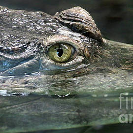 Slender Snouted Crocodile-2437 by Gary Gingrich Galleries
