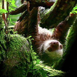 Sloth Curiosity by Karen Wiles