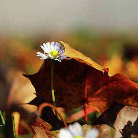 Small touh of autumn. Bellis perennis slowly pushing through the leaf to light. White daisy covered by brown maple leafs. Autumn is knocking on the door. by Vaclav Sonnek