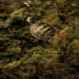 Small Turtle Swimming by Francis Sullivan