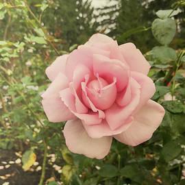 Smoky rose by Maria Janicki