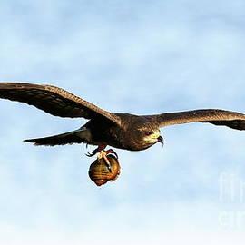 Snail Kite Flight by Myrna Bradshaw
