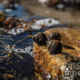 Snails by The Sea by Linda Howes