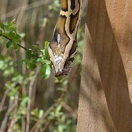 Snake by Carla Maloco