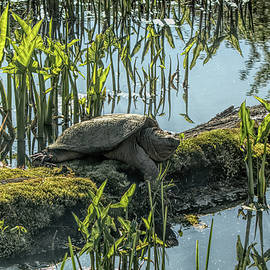 Snapper on Mossy Log by Dennis Lundell