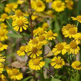 Sneezeweed by Photography by Tiwago