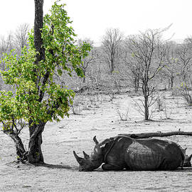 Snoozing rhino by Peter Foster