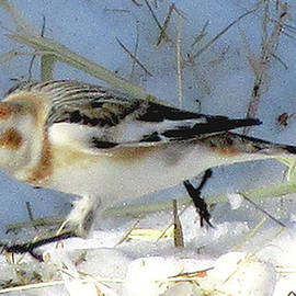 Snow Bunting In Winter by Patricia Keller