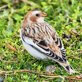 Snow Bunting by Peggy Collins
