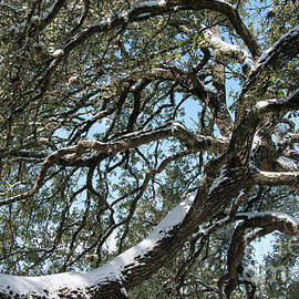 Snow Covered Great Oak by Bob Phillips