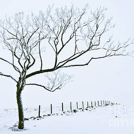 Snow covered tree and fence, Peak District, England by Neale And Judith Clark