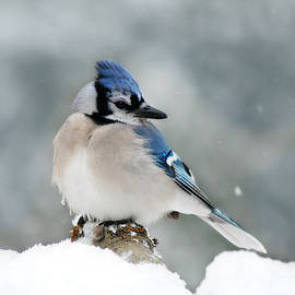 Snow Day for a Blue Jay by Marilyn De Block