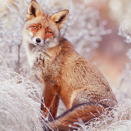 Snow Fox Series - Snow Princess by Roeselien Raimond