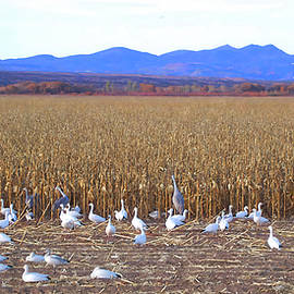 Snow geese and Cranes Feeding by Jerry Griffin
