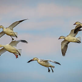 Snow Geese Descent by John Maslowski
