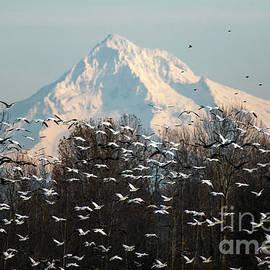 Snow Geese in Flight  by Jackie Follett