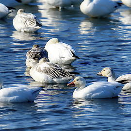 Snow Geese Migration  by Geraldine Scull