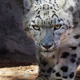 Snow Leopard on the Prowl by Ruth Jolly