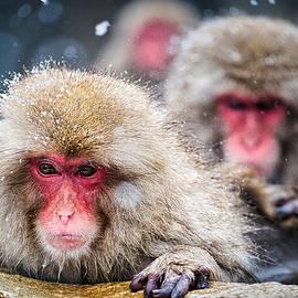 Snow Monkey Pool Grooming - Japan by Stuart Litoff