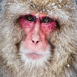 Snow Monkey Portrait - Japan by Stuart Litoff
