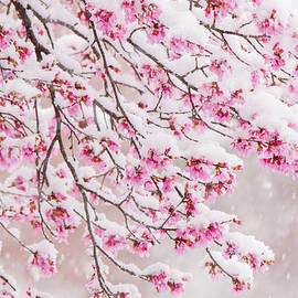 Snow on Cherry Blossoms by Mary Ann Artz