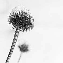 Snow on dried flower bw by Steven Ralser