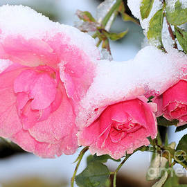 Snow on pink roses  by Janice Drew
