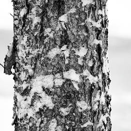 Snow on the Birch by Kathi Isserman