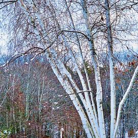 Snowy Birches by Ali Bailey