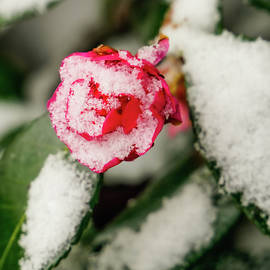 Snowy Camellia by Kathi Isserman