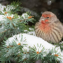 Snowy day finch by Randall Roberts