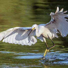 Snowy Egret 6485-072720-2 by Tam Ryan