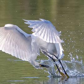 Snowy Egret Fishing 8827-060221-2 by Tam Ryan