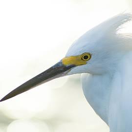 Snowy Egret in Profile by Mary Ann Artz