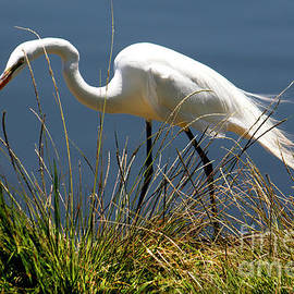 Snowy Egret by Ivete Basso Photography